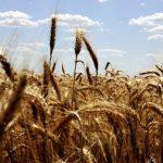 23 toneladas de trigo entram na blockchain
