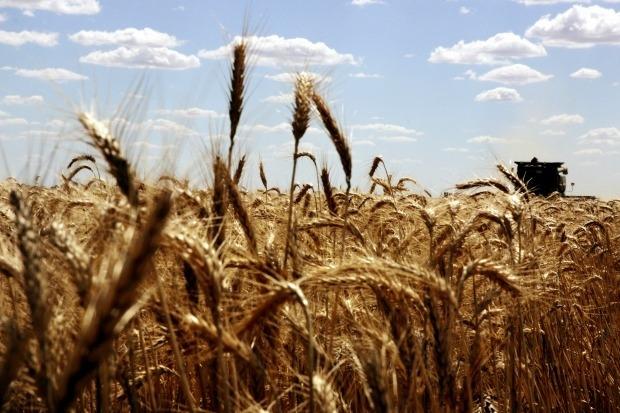 Gerenciar o trigo que cresce na Austrália é um problema, que custa centenas de milhões de dólares a cada ano, para os produtores