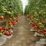 Empresário checo cultiva tomates no calor de fazendas de mineração